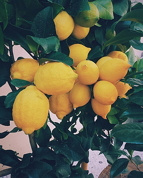 lemons on a tree