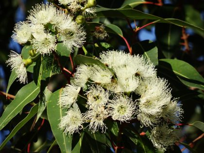 eucalaptus tree flowers