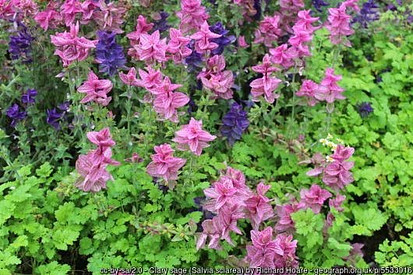 clary sage plants